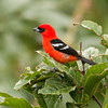 White-winged Tanager_Dusan Brinkhuizen_3773