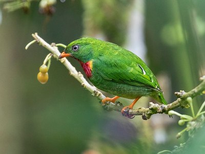 Fiery-throated Fruiteater_Dusan Brinkhuizen_2045
