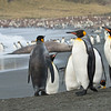 King Penguin-Dusan Brinkhuizen-0391