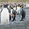Gentoo Penguin - Dusan Brinkhuizen - 0503