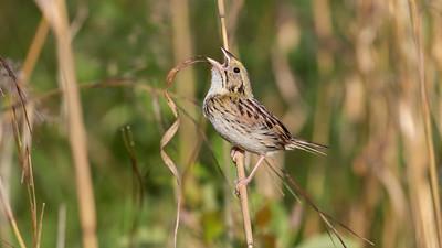 Henslow's Sparrow_Dusan Brinkhuizen_4333
