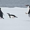 Gentoo Penguin - Dusan Brinkhuizen- 3238