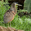 Bare-throated Tiger-Heron_Dusan Brinkhuizen_5639