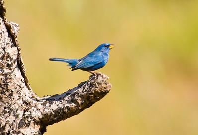 Blue Finch-Dusan Brinkhuizen-7590