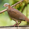 White-throated Quail-dove_Dusan Brinkhuizen_1833