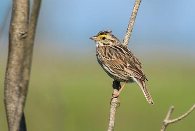 Savannah Sparrow_Dusan Brinkhuizen_4186_v2