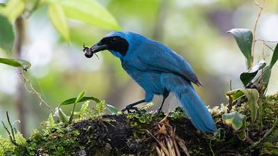 Turquoise Jay_Dusan Brinkhuizen_1177