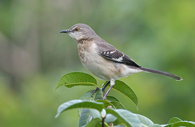 Northern Mockingbird_Dusan Brinkhuizen_5478