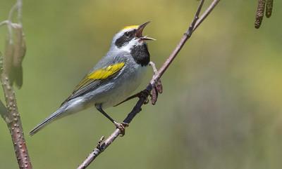 Golden-winged Warbler_Dusan Brinkhuizen_4144