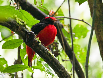 Black-necked Red Cotinga_Dusan Brinkhuizen_1994