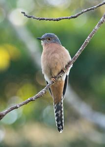 Fan-tailed Cuckoo_Dusan Brinkhuizen_2701