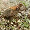 Buffy-crowned Wood Partridge_Dusan Brinkhuizen_6519