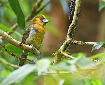 Prong-billed Barbet_Dusan Brinkhuizen_7258