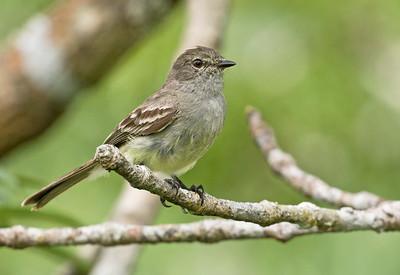 Amazonian Scrub Flycatcher_Dusan Brinkhuizen_1511