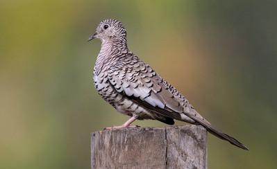 Scaled Dove_Dusan Brinkhuizen_4844
