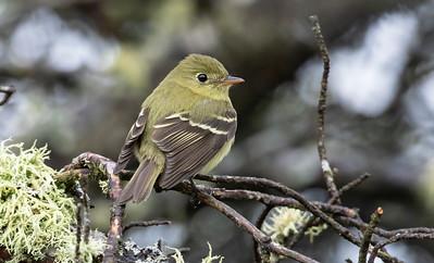 Yellow-bellied Flycatcher_Dusan Brinkhuizen_3587