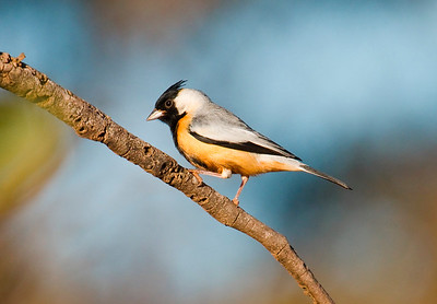 Coal-crested Finch-Dusan Brinkhuizen-7763