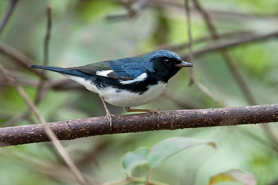 BLACK-THROATED BLUE WARBLER - Setophaga caerulescens - male Zapata Peninsula, January 2019, Matanzas, Cuba