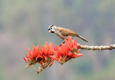 Grey-headed Parrotbill_Dusan Brinkhuizen_2494