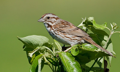 Song Sparrow_Dusan Brinkhuizen_1658