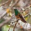 CHESTNUT-BELLIED HUMMINGBIRD - Amazilia castaneiventris -<br /> San Vicente de Chucurí, Santander, December 2015, Colombia