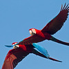 Red-and-green Macaw_Dusan Brinkhuizen_5695