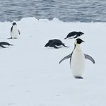 Emperor Penguin-Dusan Brinkhuizen-2316