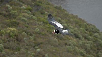 Andean Condor_Dusan Brinkhuizen_1072