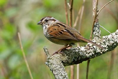 Swamp Sparrow_Dusan Brinkhuizen_1684