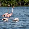 Greater Flamingo_Dusan Brinkhuizen_9785
