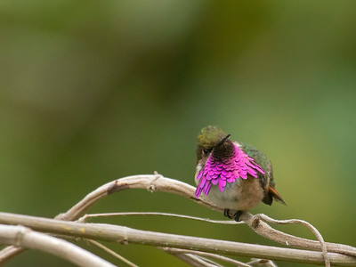 Whine-throated Hummingbird_Dusan Brinkhuizen_7860_2