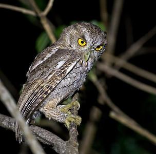 Pacific Screech-owl_Dusan Brinkhuizen_7420