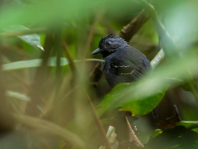 Black-headed Antbird_Dusan Brinkhuizen_6335
