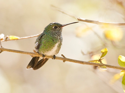 Glittering-throated Emerald_Dusan Brinkhuizen_9179