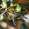 BLACK-THROATED GREEN WARBLER -  Setophaga virens -<br /> Las Terrazas, February 2016, Artemisa, Cuba