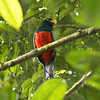 Lattice-tailed Trogon_Dusan Brinkhuizen_2166