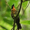 Black-cheeked Ant-tanager-Dusan Brinkhuizen-3919