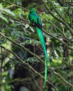 Resplendent Quetzal_Dusan brinkhuizen_2_7196