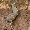 Bare-throated Tiger-Heron_Dusan Brinkhuizen_5615