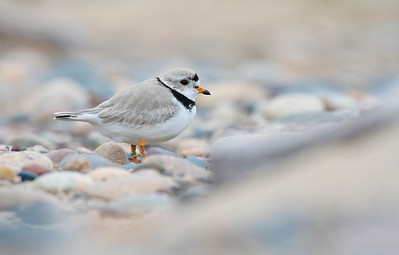 Piping Plover_Dusan Brinkhuizen_3811