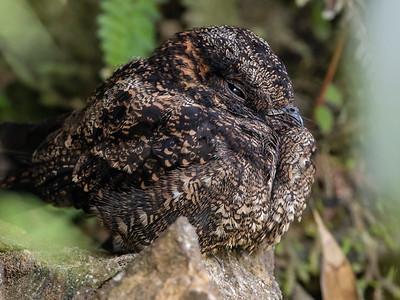 Lyre-tailed Nightjar_Dusan Brinkhuizen_5682