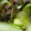 Black-cheeked Ant-tanager-Dusan Brinkhuizen-3892