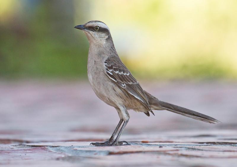 Chalk-browed Mockingbird_Dusan Brinkhuizen_5782