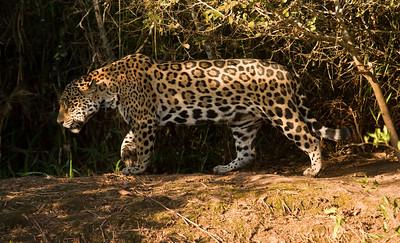 Jaguar_Dusan Brinkhuizen_8524