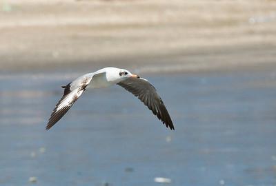 Brown-headed Gull_Dusan Brinkhuizen_1307