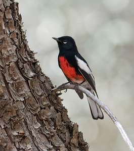 PAINTED REDSTART - Myioborus pictus - Madera Canyon, Santa Rita Mountains, Oct 2017, Arizona, USA