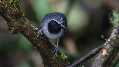 Black-faced Antbird_Dusan Brinkhuizen_1669