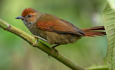 Red-faced Spinetail_Dusan Brinkhuizen_1207