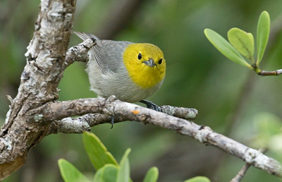 Yellow-headed Warbler_Dusan Brinkhuizen_5924