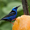 Red-legged Honeycreeper_Dusan Brinkhuizen_4795